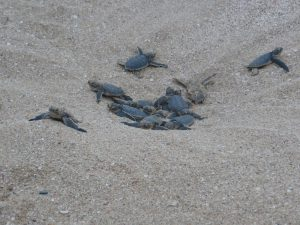 Baby turtles dig their way out of the sand as they hatch