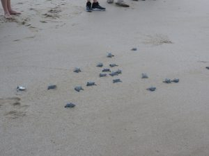 Baby turtles head for the sea for the first time after hatching