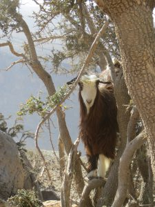 A brown goat with a white face in a tree at the top of Jebel Shams