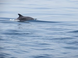 A lone dolphin surfaces of the coast of Muscat