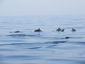 a pod of dolphins surface in the crystal clear waters of the Gulf of Oman